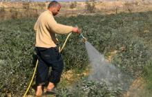 Omar Abu Zaher, a farmer from al-Qararah, washes his fava bean field after a spraying. Photo by Muhammad Sa'id, B'Tselem, 23 Jan. 2017
